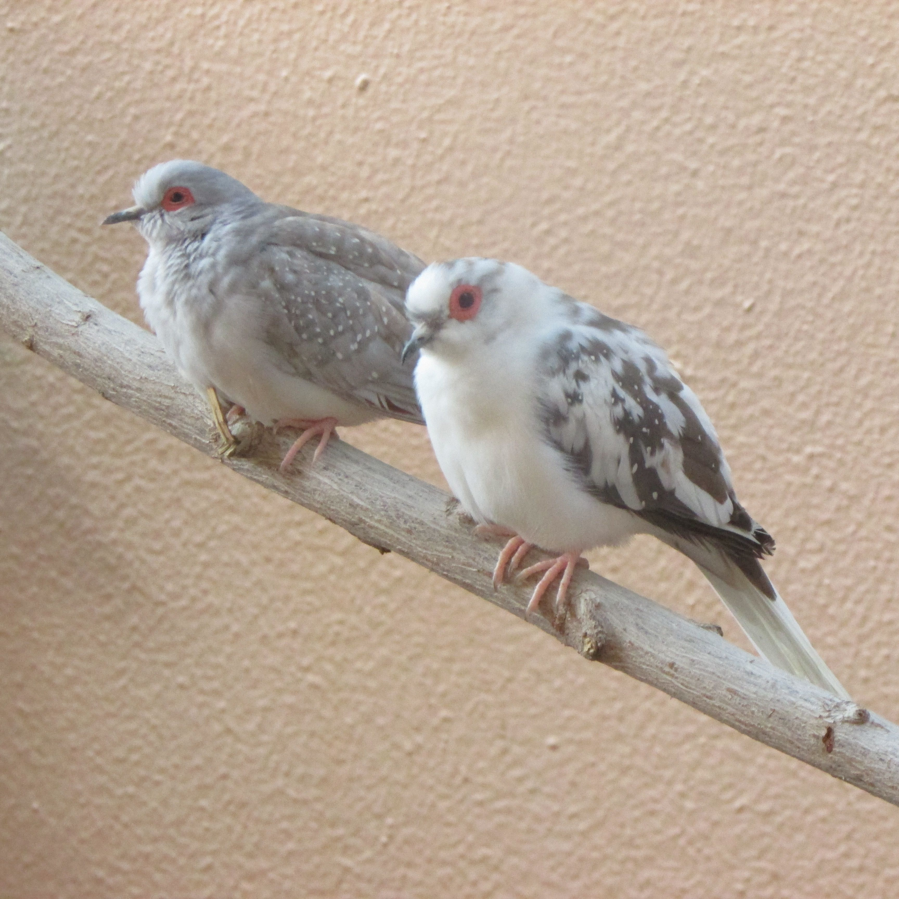 Fuego Ultimate Redred Male Diamond Dove On The Left And Chicharo