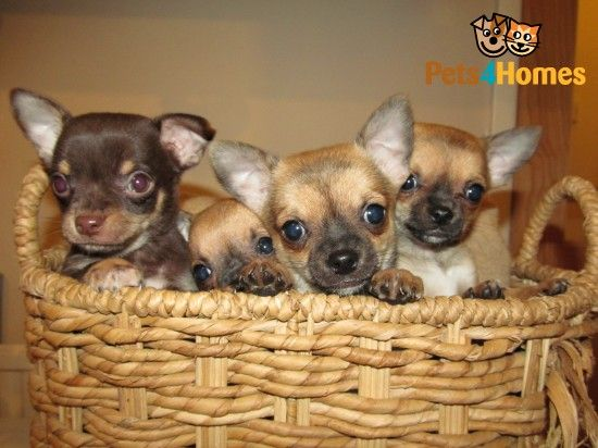 Stunning Chihuahua Pups Ready Now 2 Chocolate Nottingham