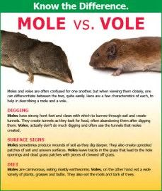 Image Result For Voles And Moles Garden Pests Rodent Removal Garden Animals