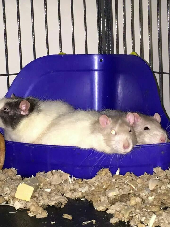Rats In The Litter Box Litter Box Litter Hamster