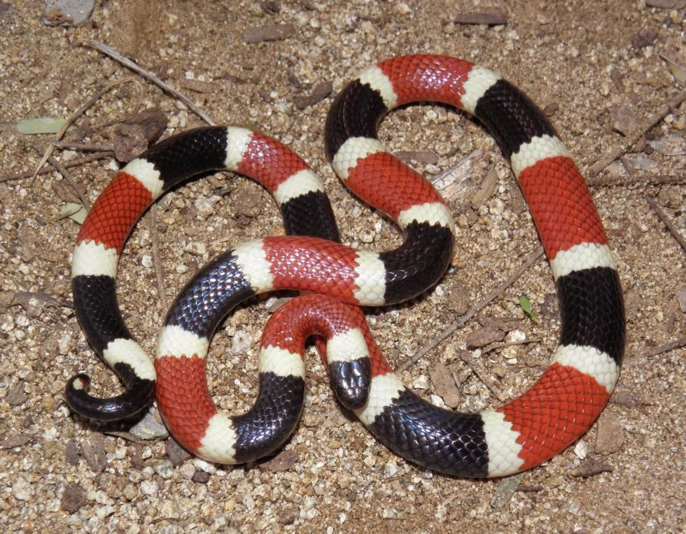 U.S. Coral Snakes | Coral snake, Poisonous snakes, Snake