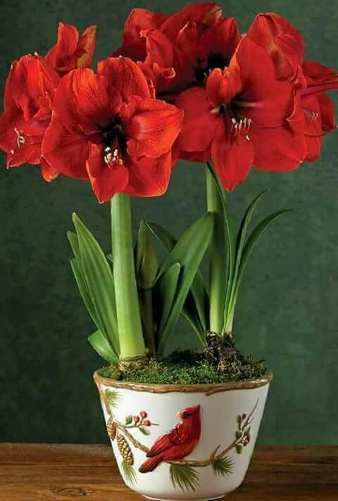 Pin By Christine Noelle On Amarillys Amaryllis Plant Amaryllis Flowers Plant Gifts
