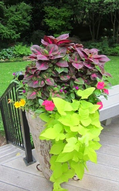Perilla Magilla Gomphrena 'Cora' Vinca - punch Purselane - yellow Sweet Potato Vine Signature Gardens: CONTAINERS/ANNUALS - Spring/Summer #shadecontainergardenideas