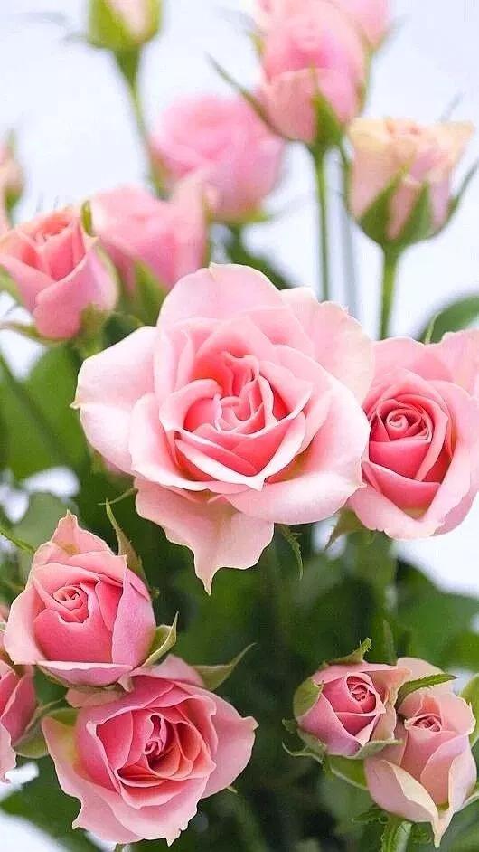 خلفيات ورود جميلة جدا 2019 اجمل صور ورد في العالم 2020 فوتوجرافر Beautiful Rose Flowers Beautiful Flowers Wallpapers Beautiful Pink Roses