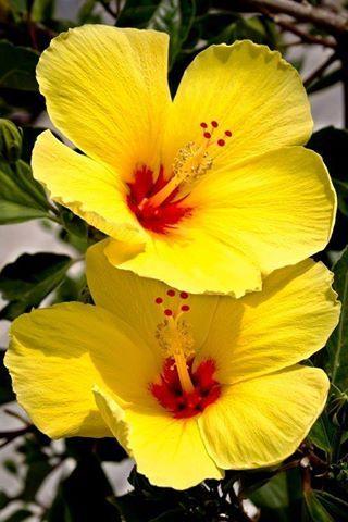 Hibiscus o hibiscos, también conocida como Rosa China, Cardenales o Flor del beso 15267984_1321195327900857_5694626761687338257_n.jpg (320×480)