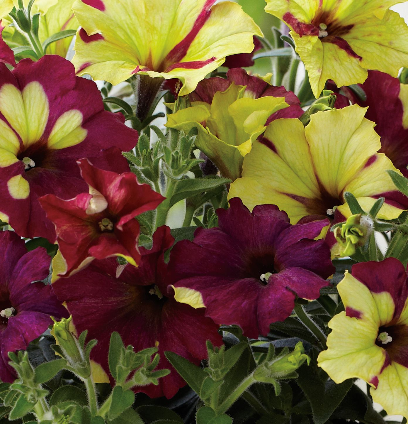 33 Beautiful Flower Beds Adding Bright Centerpieces To: Crazytunia Sparky - Petunia Hybrid