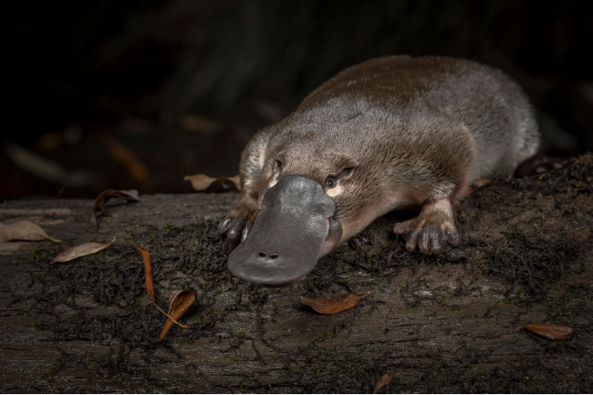 The Silent Decline Of The Platypus Australia S Beloved Oddity In 2020 Mammals Platypus Australian Native Animals