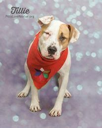 ●8•13•17 SL● Tillie a young female pit bull terrier of medium size. Spayed. Happy go lucky despite blindness...her lack of sight does not hinder her at all! Please click photo for more info.