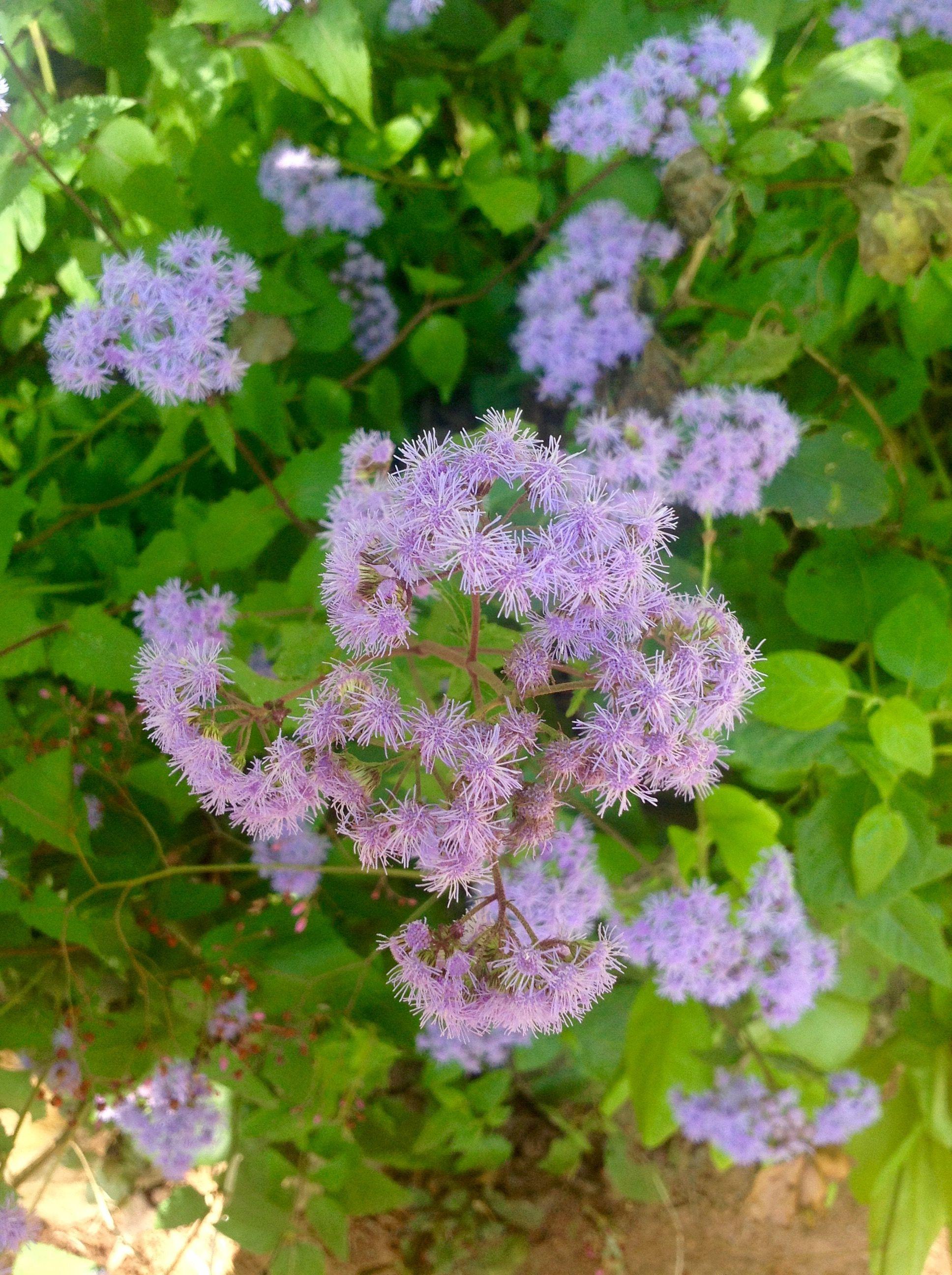 Conoclinium Coelestinum Hardy Ageratum Or Blue Mist Flower Plants Herbs Flowers