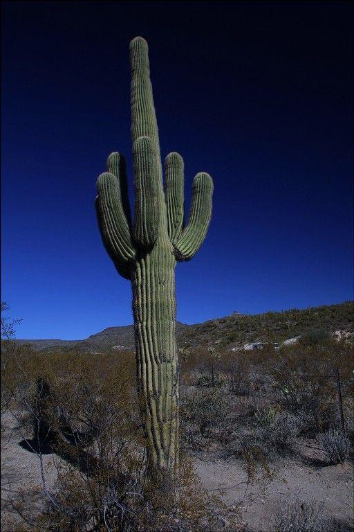 Saquaro Cactus haunts the South Western Desert.
