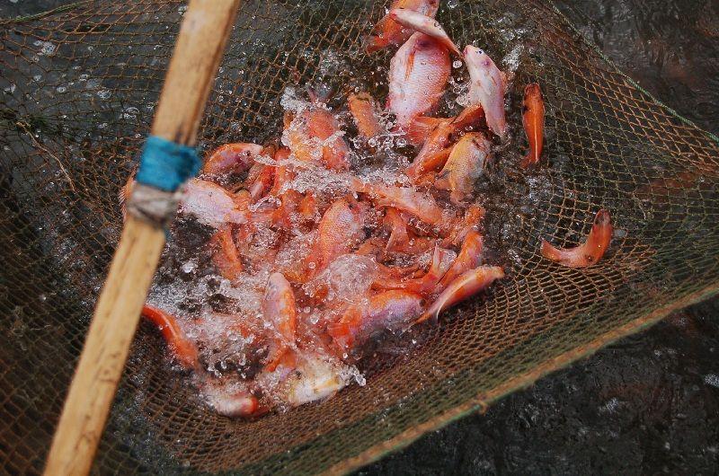 cara budidaya ikan nila di kolam terpal | Ikan, Merah, Panen