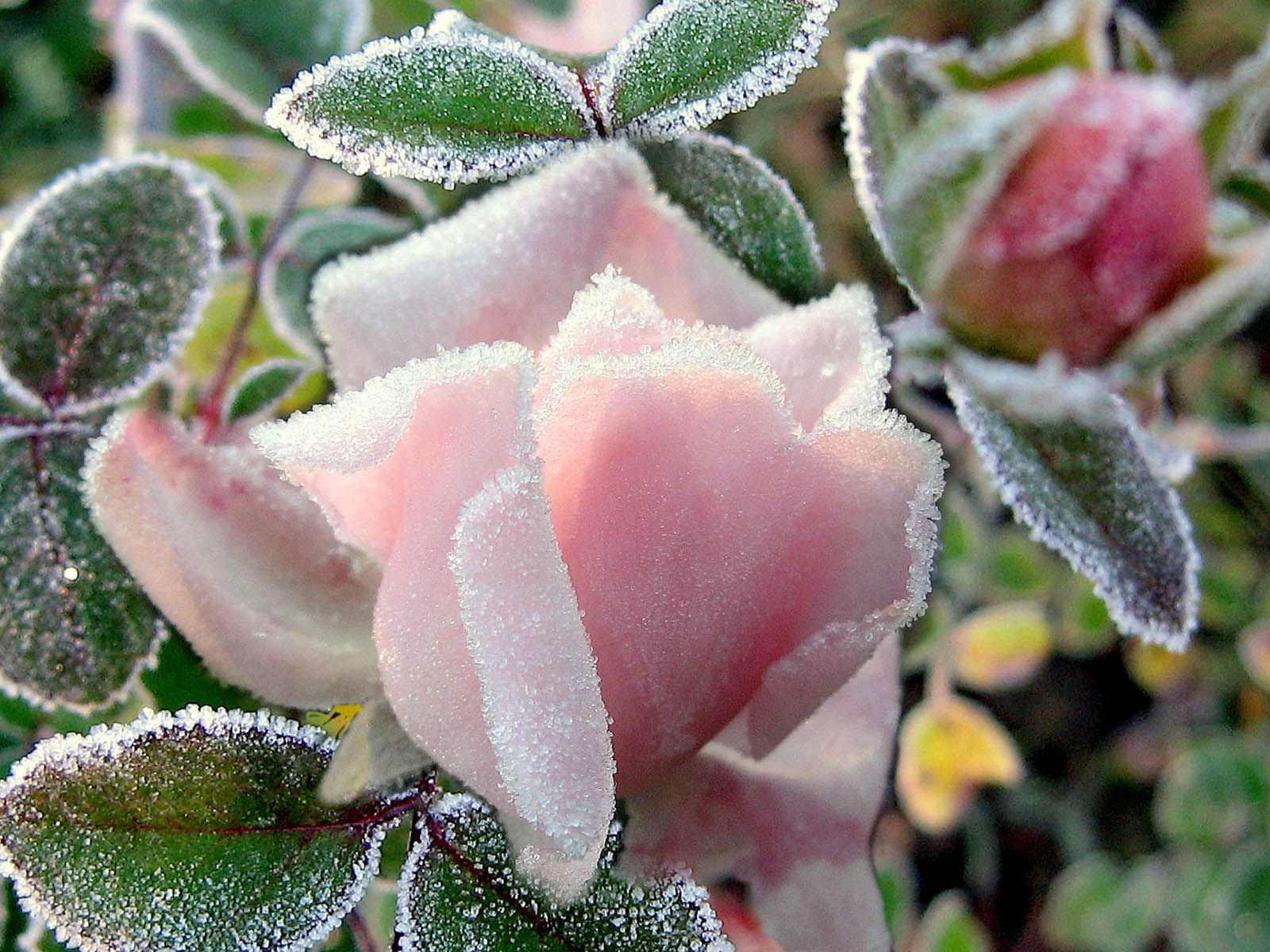 Frost Flower Rose Flowers Flower Wallpaper