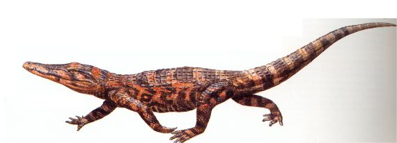 Pristichampsus - a 3m land croc from the Eocene in Germany and North America. It was equipped with strong legs and hoof-like nails instead of claws, and serrated teeth. All the better for hunting mammals on land.....You did not mess with Pristichampsus!