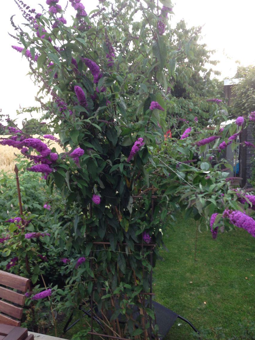 Fjärilsbusken Black Knight är galet stor i år