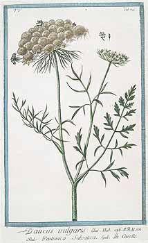 139853 Daucus carota L. [as Daucus vulgaris]  [syn. Daucus vulgaris Garsault] / Bonelli, Giorgio, Hortus Romanus juxta Systema Tournefortianum, vol. 5: t. 74 (1783-1816)