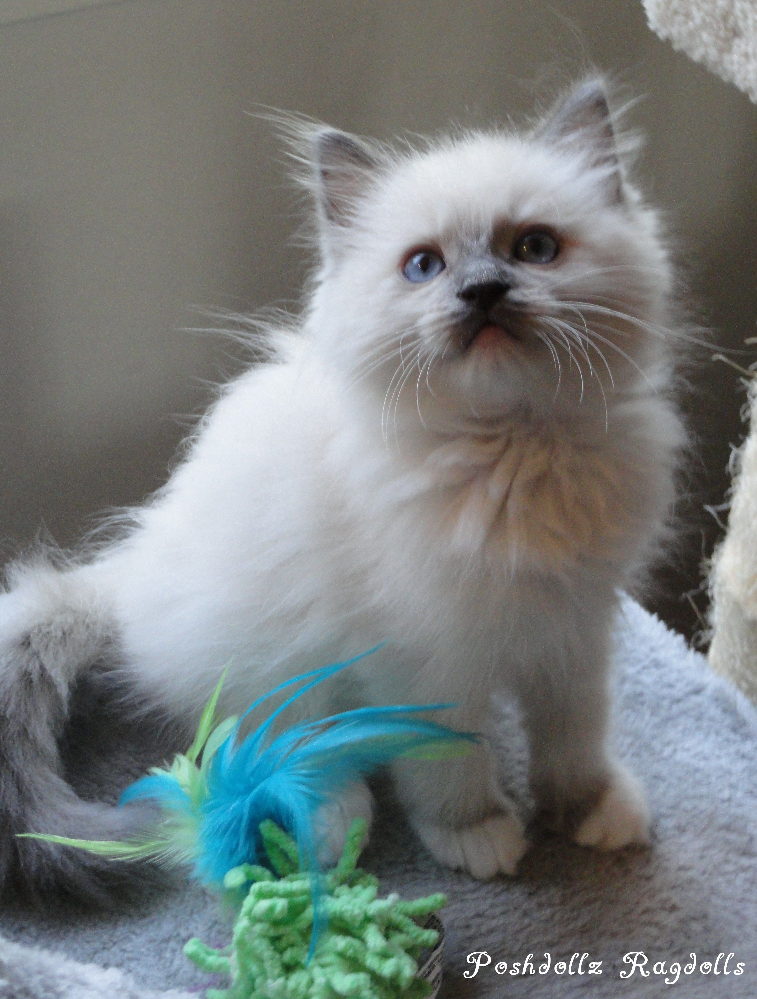 Blue point himalayan cat facts