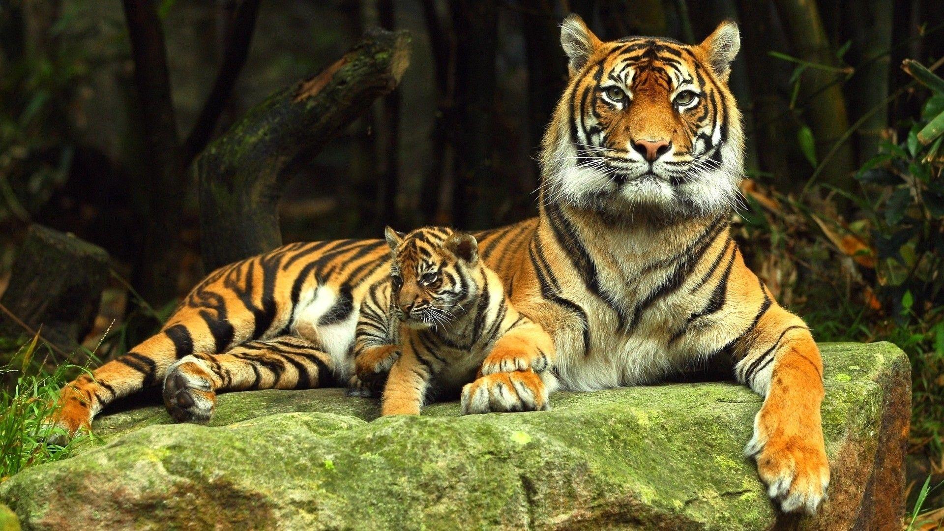 animal a· tiger desktop backgrounds