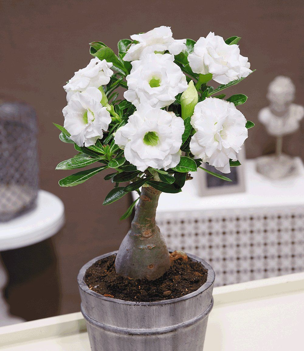 Wüstenrose gefüllt Schneeweiß 1 Pflanze günstig online kaufen
