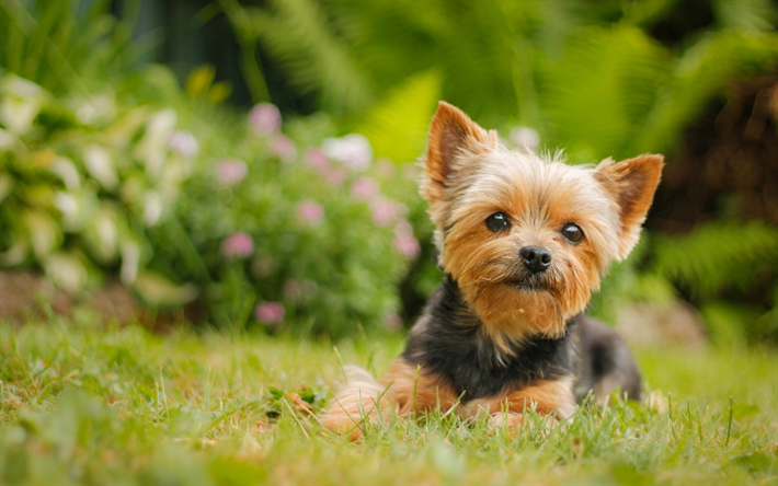 Download Wallpapers Yorkie Bokeh Lawn Yorkshire Terrier Green Grass Cute Animals Pets Dogs Yorkshire Terrier Dog Besthqwallpapers Com Yorkshire Terrier Yorkshire Terrier Dog Yorkie