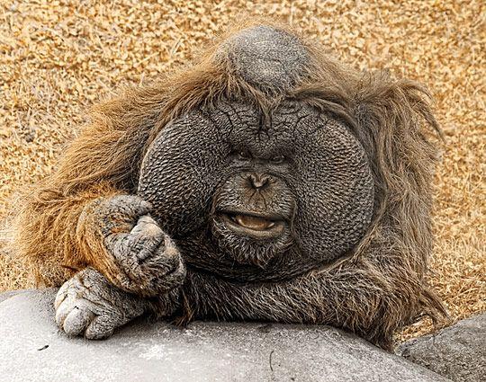 Fat Gorilla Face