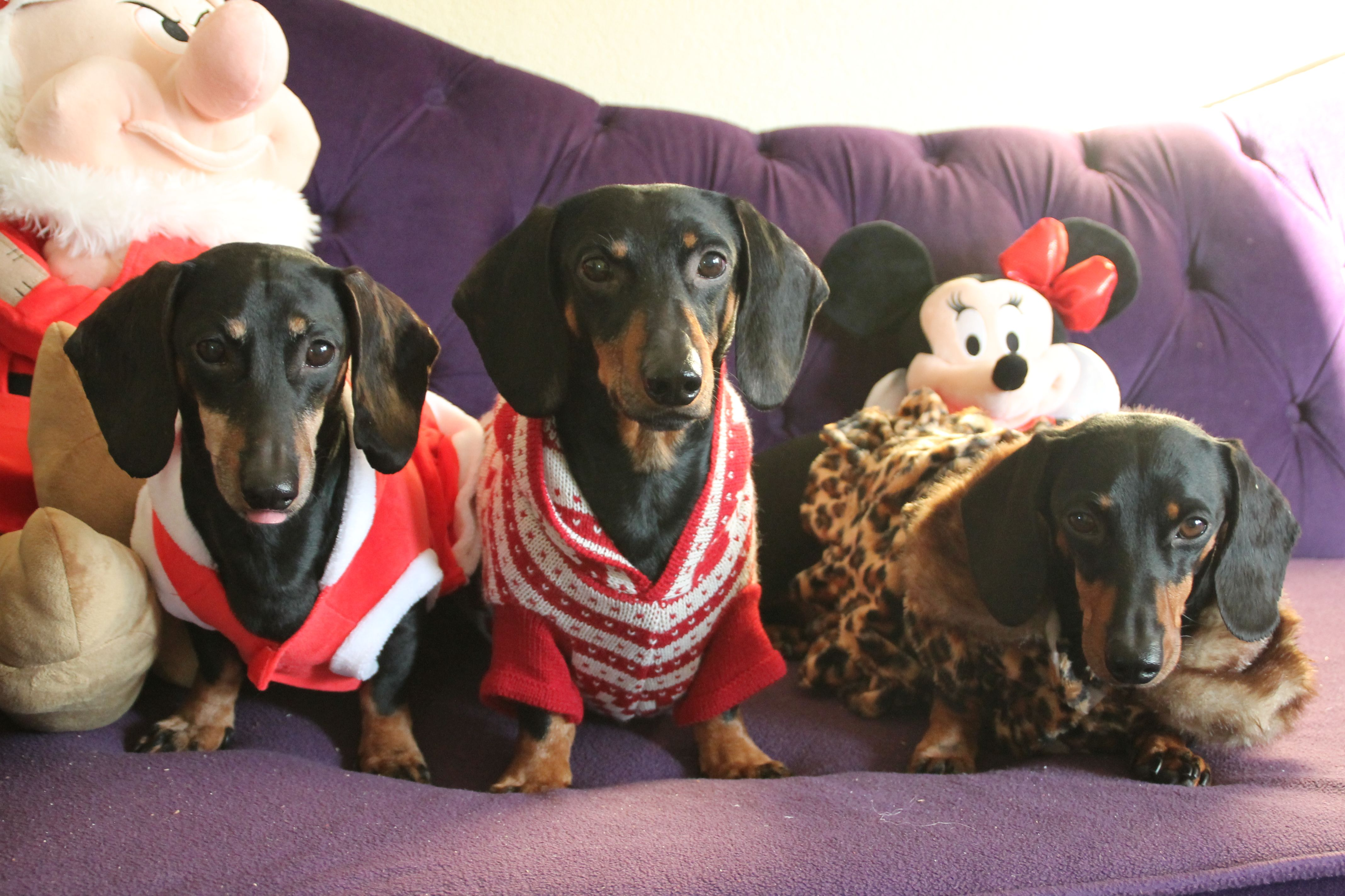 My darling Dachshunds are all ready for X-Mas!