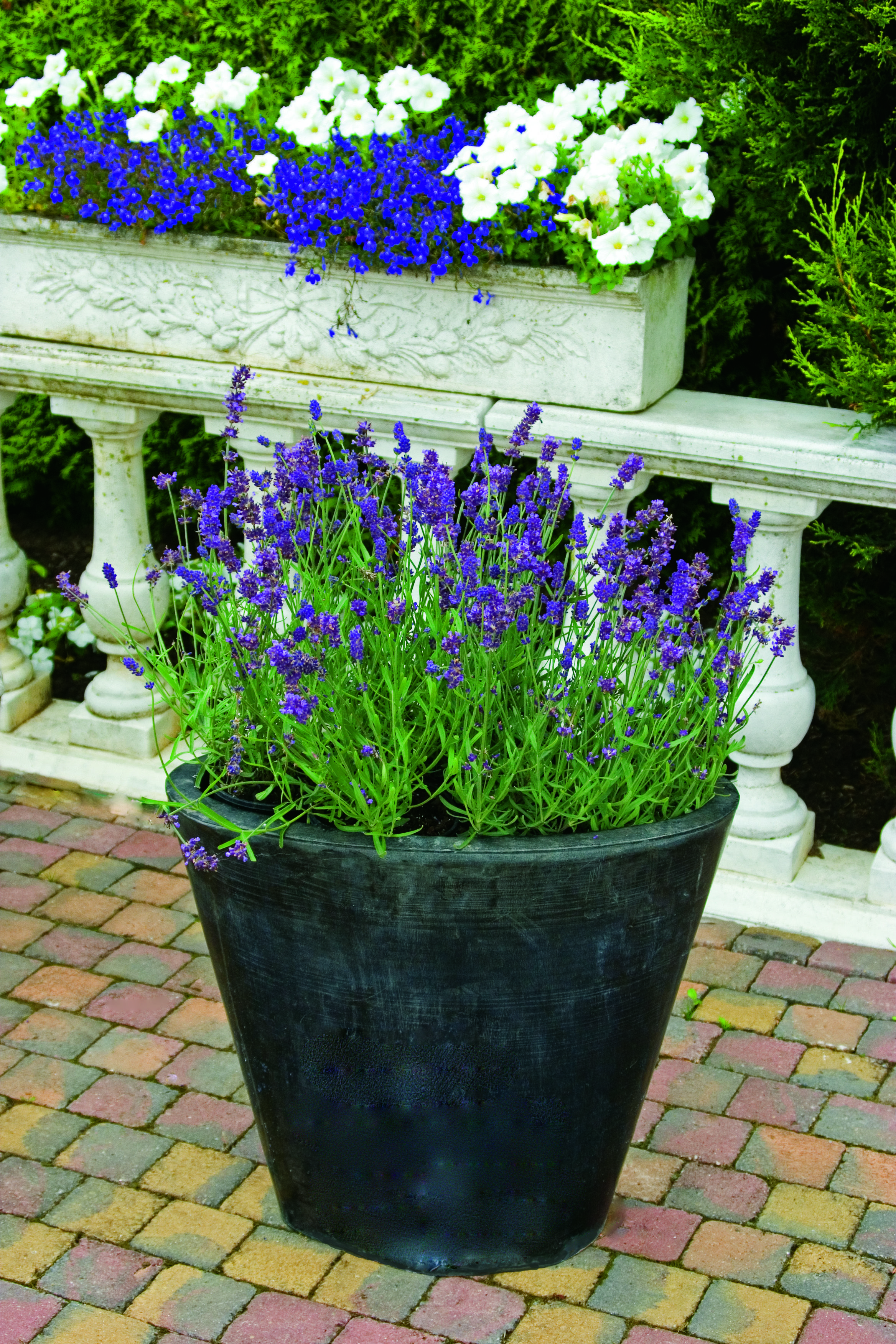 Lavender Pictures Container gardening, Garden, Indoor