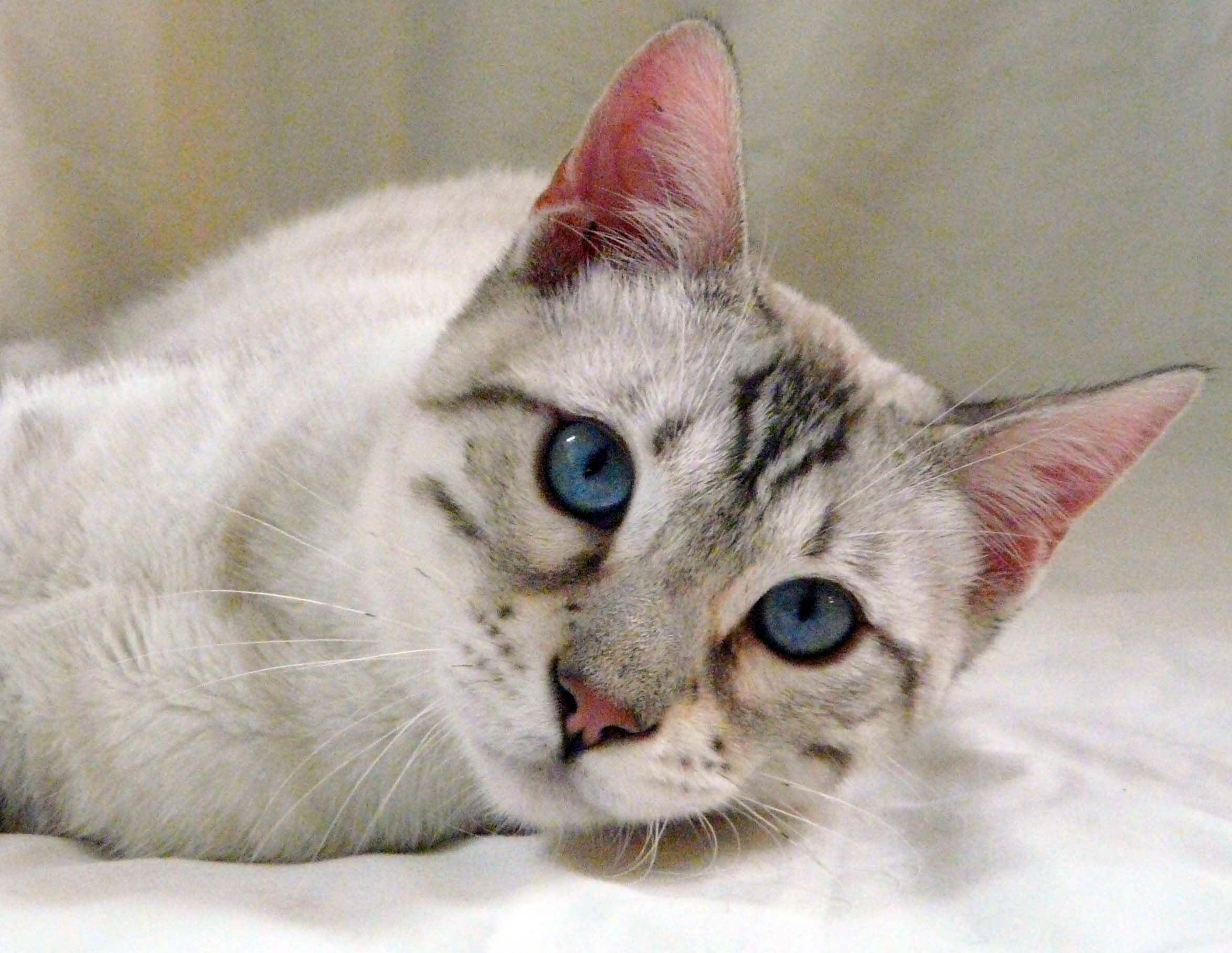 Snow Bengal Cat Cute cats, White bengal cat, Pretty cats