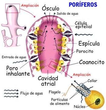 poriferos - Buscar con Google | poriferos | Pinterest | Biología ...