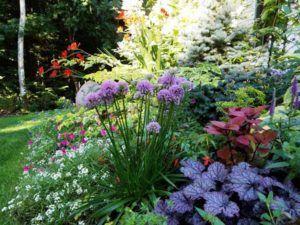 Allium Millenium In Kerry Ann Mendezu0027s Garden