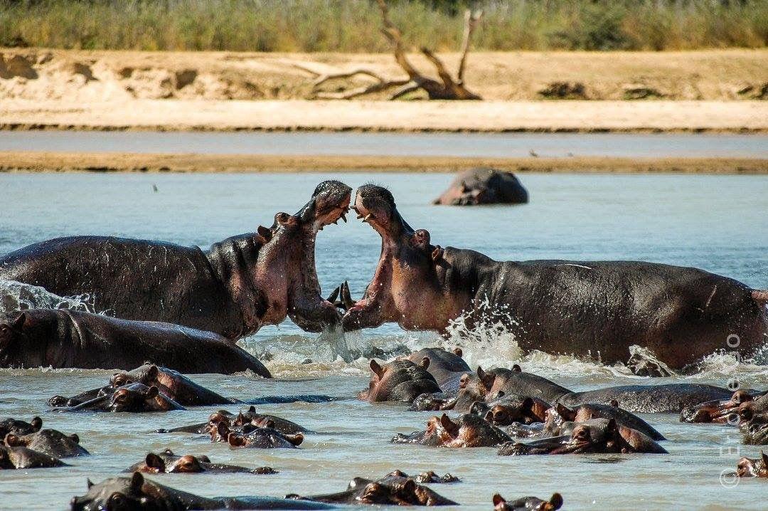 Querelle d'hippopotames - @Eric le Go
