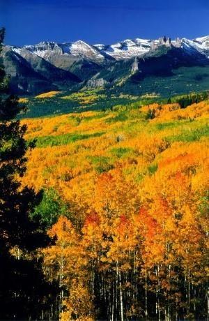 Colorado Aspen Trees By Eva0707