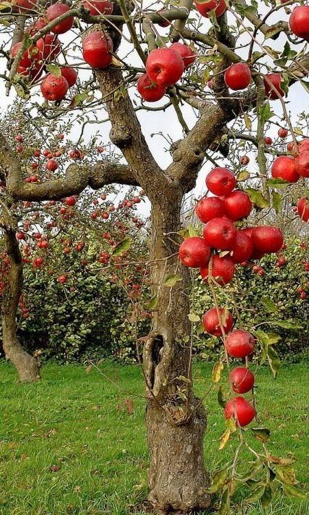 It's a beautiful world! Fruits Pinterest Apple tree