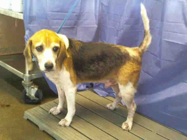 Hi I Am An Approximately 6 Year Old Tricolor Neutered Male Beagle