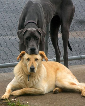 Pin By Heather Neville On For The Love Of Ridgebacks Friends