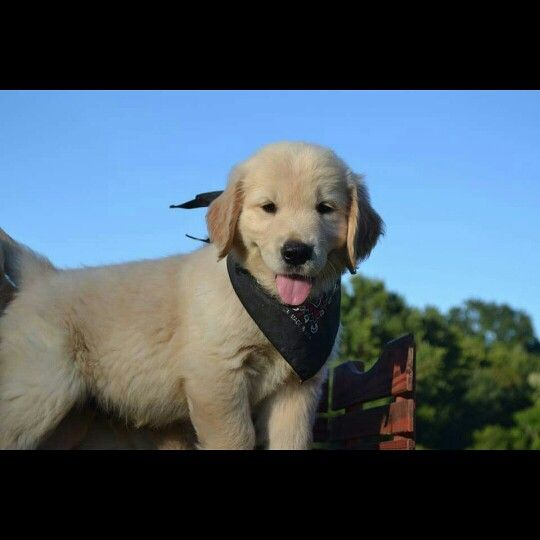 Pin By Cindy Gebhardt On Goldens Dogs Dogs 101 Dog Breeds