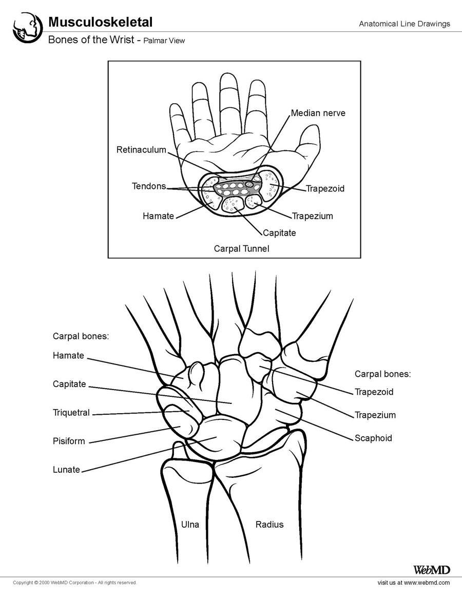 Easy To See And Understand Cutaway And Drawing Of Wrist Bones