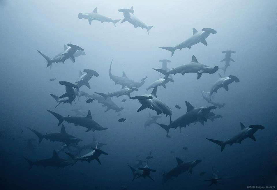 requins marteau