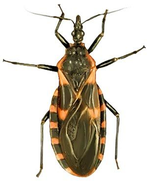 Hidden Threat The Kissing Bug And Chagas Disease Interesting