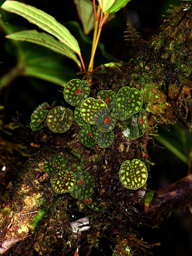 Pin on Warm - growing Lepanthes