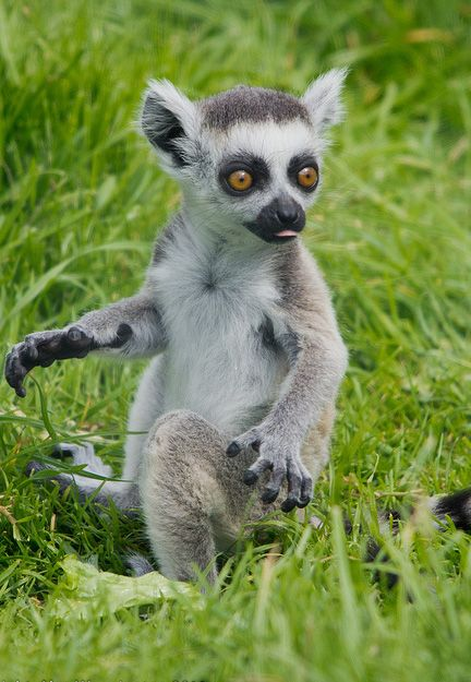 9644dd7249 Baby ring tailed lemur