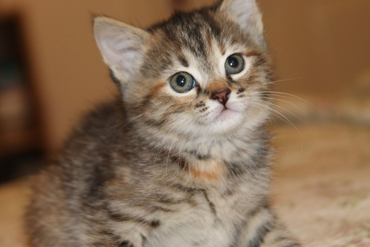Fluffy Tabby Mixed With Bengal Kittens Ilford Essex Pets4homes Bengal Kitten Kittens Fluffy Kittens