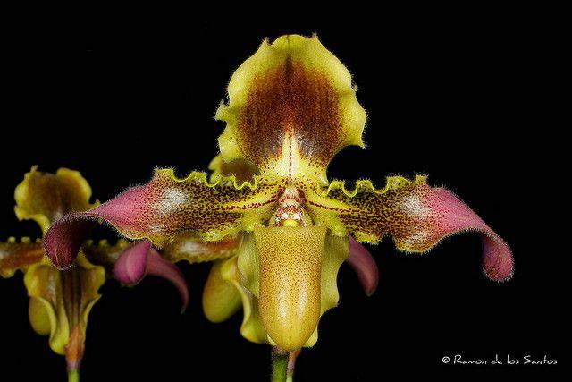 Paph. hirsutisimum var. esquirolei 'Gold Country' | Flickr: partage de photos!