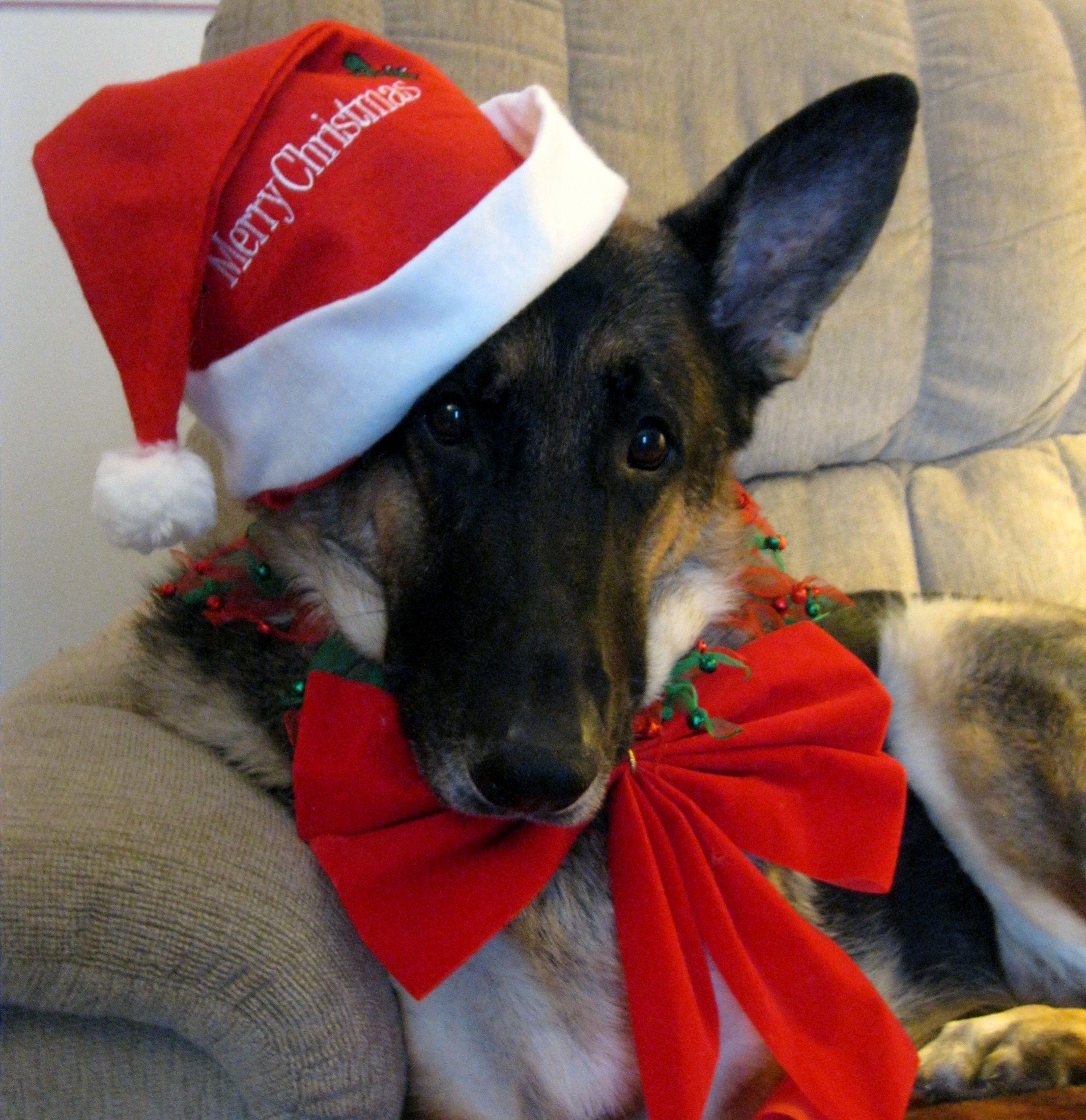 Majorfotorg 29973092 German Shepherd Dog Christmas