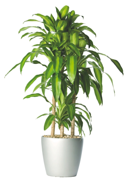 Tall House Plants Png