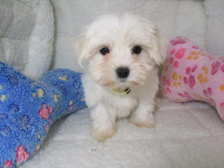Maltese Puppies Puppies For Sale at Breeders Club