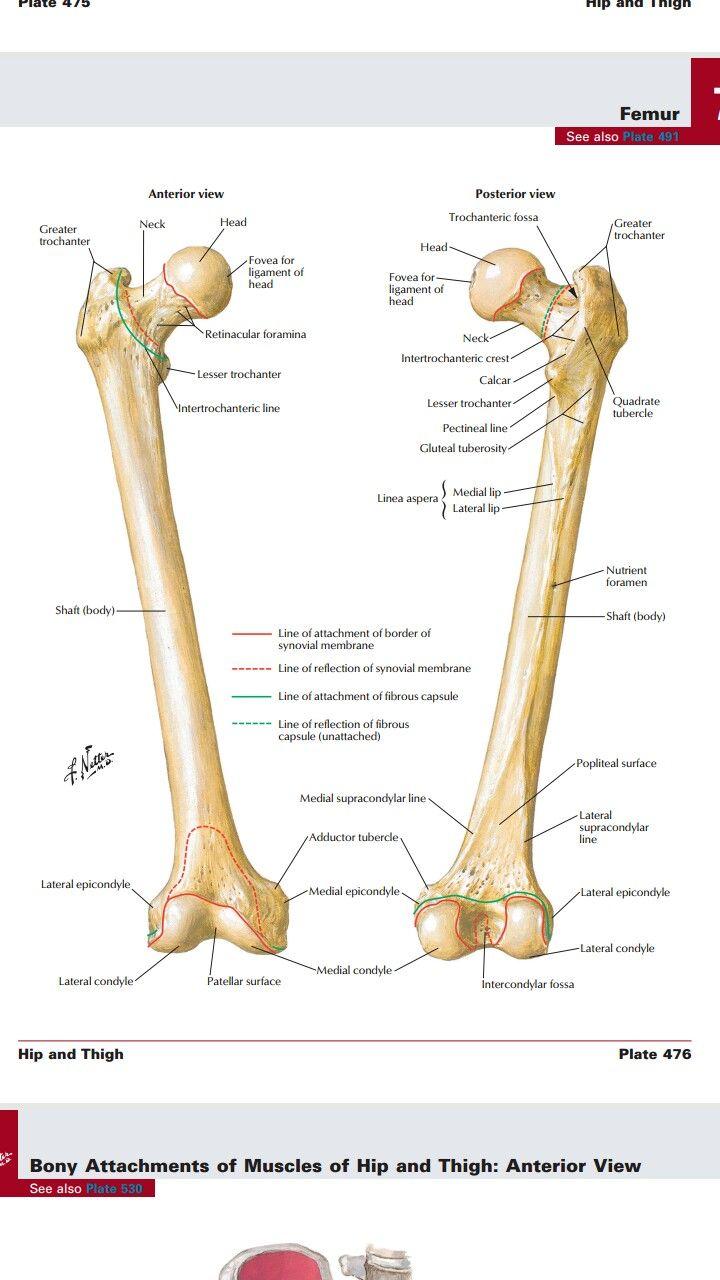 Pin von Vampire auf Human anatomy   Pinterest