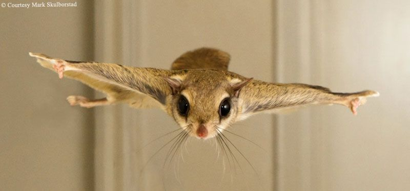 Both Wild And Pet Southern Flying Squirrels Benefit Directly And Indirectly From Mark And Christal Skulborstad Flying Squirrel Cuddly Animals Animals Beautiful