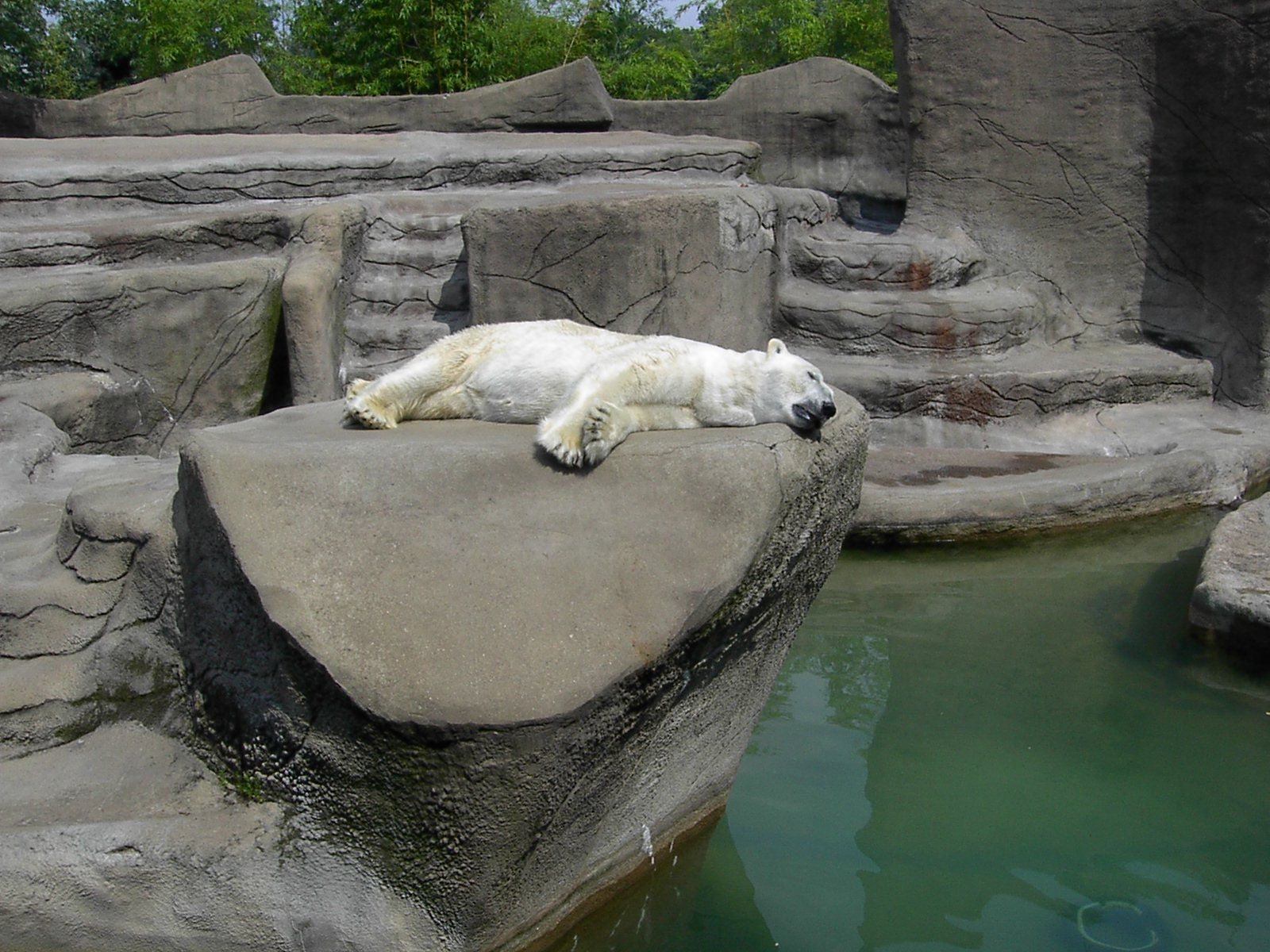 Naping polar bear with images baltimore zoo