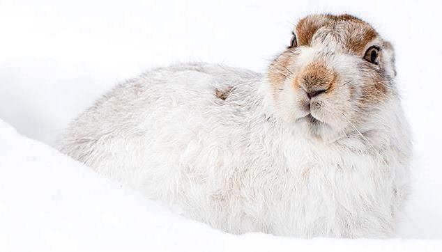 Mountain hare photographed by Eve Russell Photography #animals #rabbits #wildlife