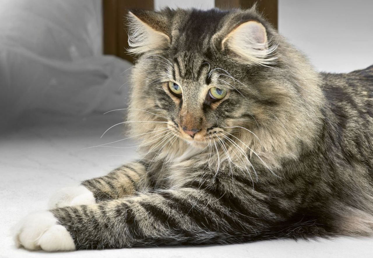 Norwegian Forest Cat • Purrfect Cat Breeds Norwegian